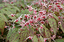 Pink Champagne Fairy Wings (Epimedium 'Pink Champagne') at Plumline Nursery