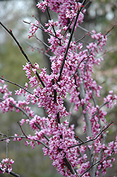 Forest Pansy Redbud (Cercis canadensis 'Forest Pansy') at Plumline Nursery