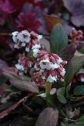 Dragonfly™ Angel Kiss Bergenia (Bergenia 'Angel Kiss') at Plumline Nursery