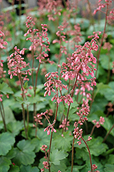 Peppermint Coral Bells (Heuchera 'Peppermint') at Plumline Nursery