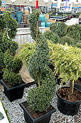 Green Mountain Boxwood (spiral form) (Buxus 'Green Mountain (spiral)') at Plumline Nursery