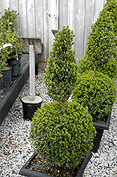 Green Mountain Boxwood (poodle form) (Buxus 'Green Mountain (poodle)') at Plumline Nursery