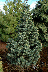 Compact White Fir (Abies concolor 'Compacta') at Plumline Nursery