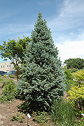 Upright Colorado Spruce (Picea pungens 'Fastigiata') at Plumline Nursery