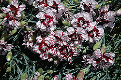 Coconut Punch Pinks (Dianthus 'Coconut Punch') at Plumline Nursery