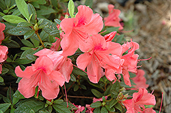 Encore® Autumn Coral™ Azalea (Rhododendron 'Conled') at Plumline Nursery