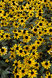 Brown Eyed Susan (Rudbeckia triloba) at Plumline Nursery