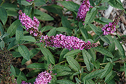 Lo And Behold® Pink Micro Chip Dwarf Butterfly Bush (Buddleia 'Lo And Behold Pink Micro Chip') at Plumline Nursery