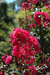 Pink Velour Crapemyrtle (Lagerstroemia indica 'Whit III') at Plumline Nursery