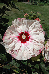 Cherry Cheesecake Hibiscus (Hibiscus 'Cherry Cheesecake') at Plumline Nursery