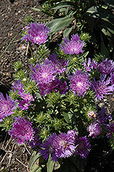Peachie's Pick Aster (Stokesia laevis 'Peachie's Pick') at Plumline Nursery