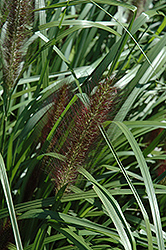 Red Head Fountain Grass (Pennisetum alopecuroides 'Red Head') at Plumline Nursery