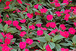 Bounce™ Cherry Impatiens (Impatiens 'Balboucher') at Plumline Nursery