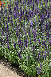 Victoria Blue Salvia (Salvia farinacea 'Victoria Blue') at Plumline Nursery