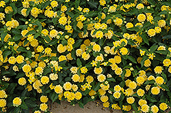 Landmark Yellow Lantana (Lantana camara 'Landmark Yellow') at Plumline Nursery