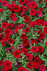 Easy Wave Red Velour Petunia (Petunia 'Easy Wave Pink Passion') at Plumline Nursery