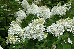 Fire And Ice Hydrangea (Hydrangea paniculata 'Wim's Red') at Plumline Nursery