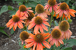 Sombrero® Adobe Orange Coneflower (Echinacea 'Balsomador') at Plumline Nursery