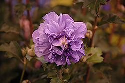 Blueberry Smoothie™ Rose of Sharon (Hibiscus syriacus 'DS01BS') at Plumline Nursery