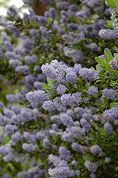 Julia Phelps California Lilac (Ceanothus 'Julia Phelps') at Plumline Nursery