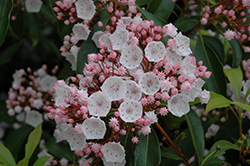Elf Mountain Laurel (Kalmia latifolia 'Elf') at Plumline Nursery