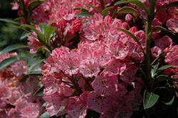 Tiddlywinks Mountain Laurel (Kalmia latifolia 'Tiddlywinks') at Plumline Nursery