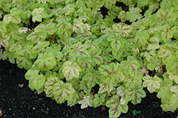 Yellowstone Falls Foamy Bells (Heucherella 'Yellowstone Falls') at Plumline Nursery