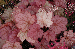 Georgia Peach Coral Bells (Heuchera 'Georgia Peach') at Plumline Nursery