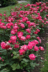 Double Knock Out® Rose (Rosa 'Radtko') at Plumline Nursery