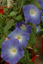 Heavenly Blue Morning Glory (Ipomoea tricolor 'Heavenly Blue') at Plumline Nursery