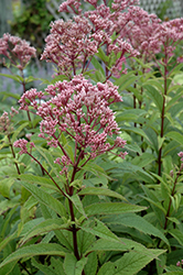 Baby Joe Dwarf Joe Pye Weed (Eupatorium dubium 'Baby Joe') at Plumline Nursery
