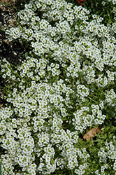 Snow Princess Alyssum (Lobularia 'Snow Princess') at Plumline Nursery