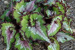 Jurassic Watermelon Begonia (Begonia 'Jurassic Watermelon') at Plumline Nursery
