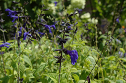Black And Blue Anise Sage (Salvia guaranitica 'Black And Blue') at Plumline Nursery