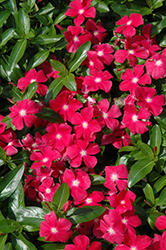 Mediterranean XP Hot Rose Vinca (Catharanthus roseus 'Mediterranean XP Hot Rose') at Plumline Nursery