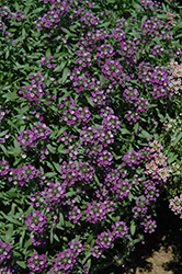 Dark Knight Alyssum (Lobularia 'Dark Knight') at Plumline Nursery