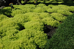 Lemon Ball Stonecrop (Sedum rupestre 'Lemon Ball') at Plumline Nursery