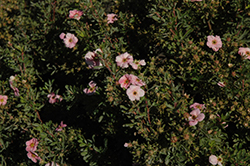 Happy Face® Pink Paradise Potentilla (Potentilla fruticosa 'Kupinpa') at Plumline Nursery