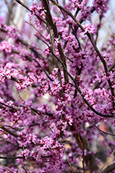 Ace Of Hearts Redbud (Cercis canadensis 'Ace Of Hearts') at Plumline Nursery