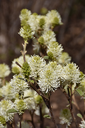 Mt. Airy Fothergilla (Fothergilla major 'Mt. Airy') at Plumline Nursery