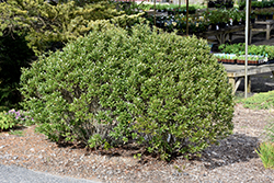 Steeds Japanese Holly (Ilex crenata 'Steeds') at Plumline Nursery