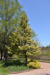 Cripps Gold Falsecypress (Chamaecyparis obtusa 'Crippsii') at Plumline Nursery
