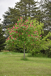 Fort McNair Red Horse Chestnut (Aesculus x carnea 'Fort McNair') at Plumline Nursery