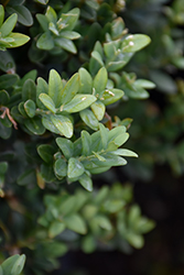 Newport Blue Boxwood (Buxus sempervirens 'Newport Blue') at Plumline Nursery