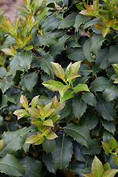 Centennial Girl Holly (Ilex 'Centennial Girl') at Plumline Nursery