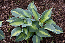 Touch Of Class Hosta (Hosta 'Touch Of Class') at Plumline Nursery