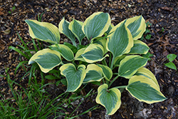 Liberty Hosta (Hosta 'Liberty') at Plumline Nursery