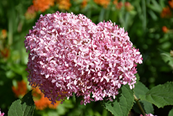 Invincibelle® Spirit Smooth Hydrangea (Hydrangea arborescens 'NCHA1') at Plumline Nursery