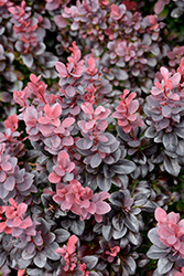 Concorde Japanese Barberry (Berberis thunbergii 'Concorde') at Plumline Nursery
