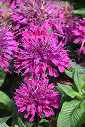Grape Gumball Beebalm (Monarda 'Grape Gumball') at Plumline Nursery
